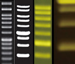 DNA Ladders & Dyes